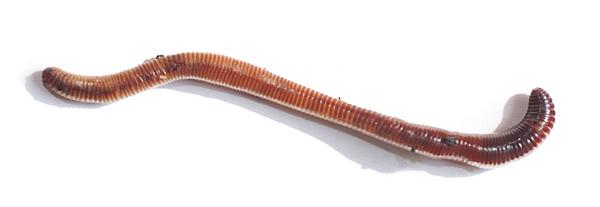 Eisenia hortensis